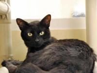 Domestic Short Hair - Pewter - Medium - Young - Male -