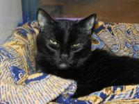 Domestic Short Hair - Phantom - Medium - Senior - Male