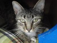 Domestic Short Hair - Phoebe - Medium - Adult - Female