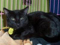 Domestic Short Hair - Phoenix - Small - Young - Male -