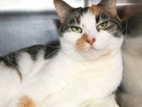 Domestic Short Hair - Piccolo - Large - Adult - Female