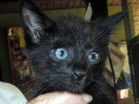 Domestic Short Hair - Pierre - Medium - Baby - Male -