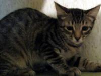 Domestic Short Hair - Pierre - Medium - Young - Male -