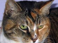 Domestic Short Hair - Piper - Medium - Adult - Female -