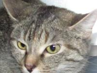 Domestic Short Hair - Pookie - Small - Young - Female -