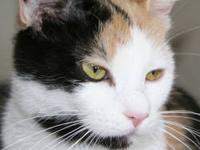 Domestic Short Hair - Posey - Medium - Adult - Female -