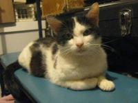 Domestic Short Hair - Posie - Small - Young - Female -