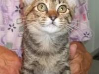 Domestic Short Hair - Presley - Small - Baby - Female -