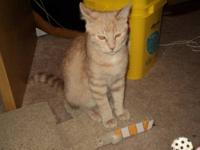 Domestic Short Hair - Prince Angelo - Large - Adult -