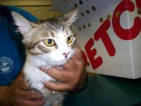 Domestic Short Hair - Princess - Small - Young - Female