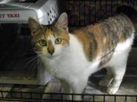 Domestic Short Hair - Prissy - Medium - Young - Female