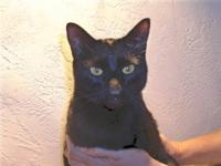 Domestic Short Hair - Professor X - Medium - Adult -