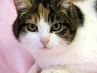 Domestic Short Hair - Puddy Cat - Small - Adult -