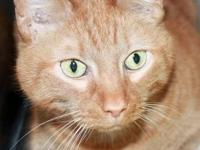 Domestic Short Hair - Punkin - Extra Large - Adult -