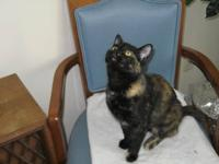 Domestic Short Hair - Queenie - Medium - Adult - Female