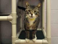 Domestic Short Hair - Quincy - Medium - Adult - Male -