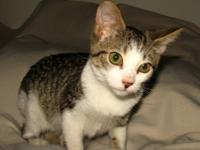 Domestic Short Hair - Quincy - Medium - Baby - Male -