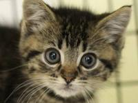 "Domestic Short Hair - ""g"" Kittens - Medium -"