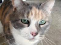 Domestic Short Hair - Rain - Large - Senior - Female -