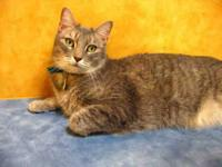 Domestic Short Hair - Rajah - Small - Adult - Male -