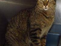 Domestic Short Hair - Razzle - Large - Adult - Male -