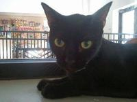 Domestic Short Hair - Rembrandt - Medium - Adult - Male