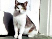 Domestic Short Hair - Rica - Small - Adult - Female -