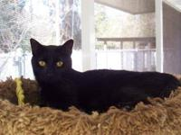 Domestic Short Hair - Richey - Medium - Adult - Female