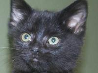 Domestic Short Hair - Ricky - Small - Baby - Male -
