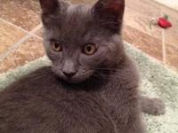 Domestic Short Hair - Riley - Large - Young - Male -
