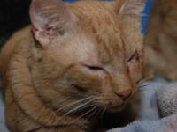 Domestic Short Hair - Riley - Medium - Adult - Male -