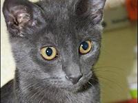 Domestic Short Hair - Ringo - Small - Young - Male -