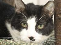 Domestic Short Hair - River - Medium - Adult - Male -