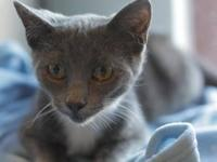 Domestic Short Hair - Rocket - Small - Baby - Male -