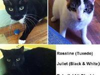 Domestic Short Hair - Rosaline, Tybalt & Julliet -
