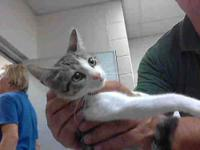 Domestic Short Hair - Rosemary - Medium - Young -