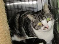 Domestic Short Hair - Rosie - Medium - Adult - Female -