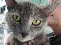 Domestic Short Hair - Rossi - Medium - Adult - Female -