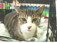 Domestic Short Hair - Rowena - Medium - Adult - Female