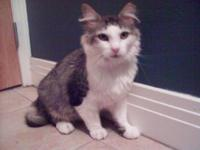 Domestic Short Hair - Roy - Medium - Adult - Male -