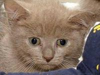 Domestic Short Hair - Rum Tug Tugger - Small - Baby -