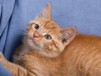 Domestic Short Hair - Rusty - Medium - Adult - Female -