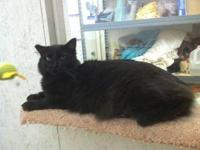 Domestic Short Hair - Sabrina - Medium - Adult - Female