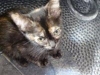 Domestic Short Hair - Sabrina - Medium - Baby - Female