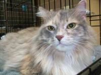 Domestic Short Hair - Sadie - Medium - Adult - Female -