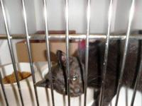 Domestic Short Hair - Sadie - Small - Baby - Female -
