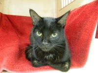 Domestic Short Hair - Sally - Small - Young - Female -