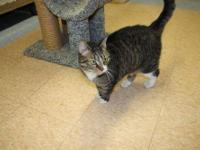 Domestic Short Hair - Sammy - Medium - Adult - Female -