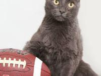 Domestic Short Hair - Sammy - Small - Adult - Male -