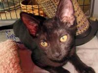 Domestic Short Hair - Sampson - Medium - Baby - Male -